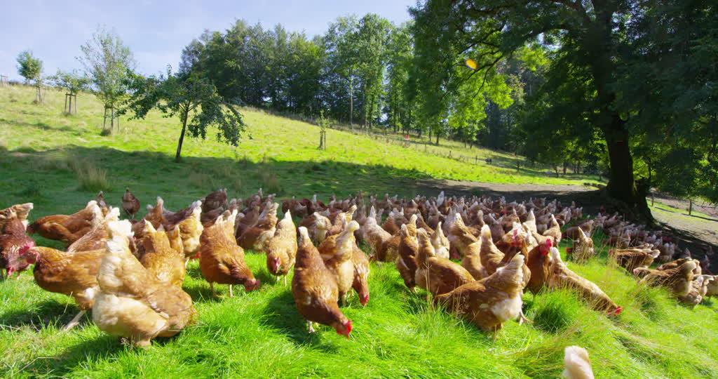 Tavuk Çiftliği Kurmak İçin Altın Öğütler