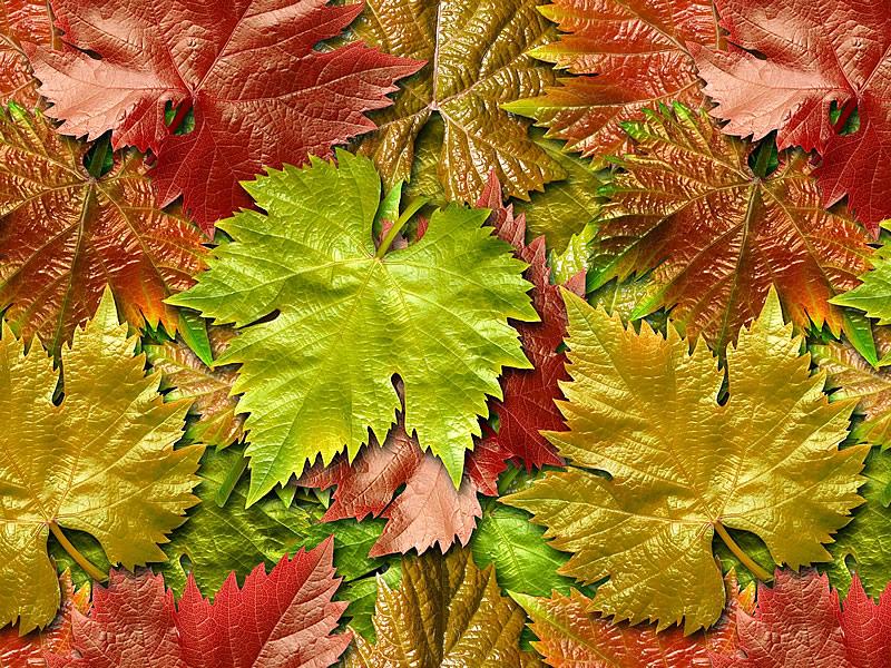 Çınar Yaprağı Mucizesi